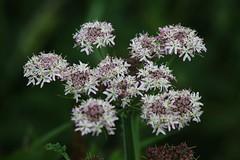 Wild Flower (Hugo von Schreck) Tags: hugovonschreck canoneos5dsr wildflower wildblume flower blume blüte macro makro tamron28300mmf3563divcpzda010 onlythebestofnature