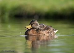 Just a (beautiful) wild duck! (Jambo53 (Robert Kok)) Tags: duck eend netherlands nederland robertkok nikond800 nikon500mmf4 water sloot ditch watervogel aquaticbird wildduck bird