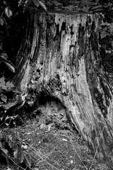 Waldhusener Forst 7 (Von Noorden) Tags: lübeck waldhusen forst wood forrest baum bäume tree trees cascades landscape timber nature natur leaves leave blatt blätter äste branch branches schleswigholstein deutschland black white blackandwhite bw sw schwarzweiss colour summer spring sommer frühling herbst autumn moos moss fence ruin decay stumpf people stone grave greaves stonegreave grab steingrab megalith dark dunkle dunkel old germany noiretblanc
