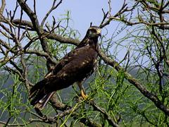 Caracolero (jagar41_ Juan Antonio) Tags: animales aves ave animal pájaros pájaro carancho caracolero