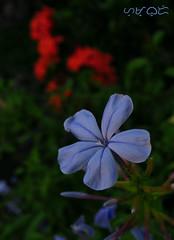 Bleu (A. K. Hombre) Tags: flower flor fleur flora blueplumbago plumbagoauriculata blue bleu blossoms blooms dof depthoffield capeplumbago capeleadwort shrub macro plant