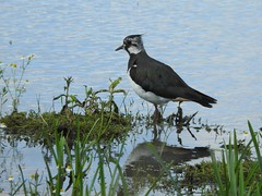 Lapwing (Sharon B Mott) Tags: lapwing bird britishwildlife wildlife nature adwicknaturereserve july summer southyorkshire