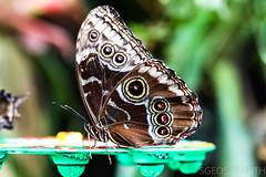 20170715-IMG_7267 (SGEOS@EARTH) Tags: vlindertuin vlinder vlinders butterfly butterflies vlindersaandevliet observer colorfull insects nectar indoor nature wildlife canon macro 100mm