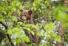 Assessing a Potential Threat (Glatz Nature Photography) Tags: babyanimal bearcub blackbear cute forest glatznaturephotography greatlakes minnesota nature nikond5 northamerica northwoods northernminnesota ursusamericanus vinceshutewildlifesanctuary wildanimal wildlife