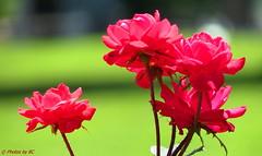 Yesterday's Roses. (Explored) (~~BC's~~Photographs~~) Tags: bcsphotographs canonsx50 knockoutroses inourgarden aroundthefarm flowers closeups outdoors summer kentuckyphotos ourworldinphotosgroup earthwindandfiregroup explorekentucky explored7162017201