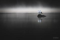 Agree (>>Marko<<) Tags: puula kangasniemi eteläsavo suomi finland nature bird lintu lokki water vesi seagull gull
