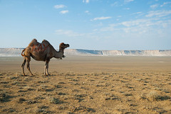 34-02-Mangystau-Camel (EurasiaOverland) Tags: bactriancamel mangystau kazakhstan