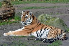 Siberian Tiger (Truus & Zoo) Tags: dierenrijk nuenen netherlands nederland animals zoo dierentuin siberischetijger pantheratigrisaltaica amurtiger siberiantiger endangered