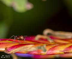 La hormiga y la flor de Bromelia (Adolfo Montes) Tags: estacióndebiologíachamela hormiga bromelia jalisco méxico macro ant