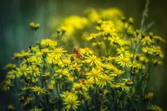 170716 Gelb zieht an (Werner D.) Tags: olympusomd domiplan nature bokeh unschärfe germany yellow