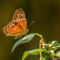 Le plus beau papillon n'est qu'une chenille habillée -The most beautiful butterfly is a caterpillar dressed - (Shoot Enraw) Tags: 10500mmf28 ariège lesparrou macrophotographie jardinbotanique papillons nature