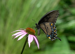 Eastern Tiger Swallowtail, dark form (KsCattails) Tags: black botanicalgarden butterfly coneflower darkform easterntigerswallowtail echinacea garden insect kscattails overlandparkarboretum