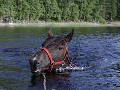 Swimming Horse (Jacek Klimczyk) Tags: jklimczykyahoocom jacek klimczyk sweden sverige canon canon1dsmarkii floating horse pływający koń animals sport swimming energy water hot