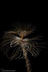Sabella spallanzanii (Francesco Sapuppo (Supernaut)) Tags: dive diving underwater polichete spirogrago sabella spallanzanii worm sea sealife nature vita marina acquatico wildlife