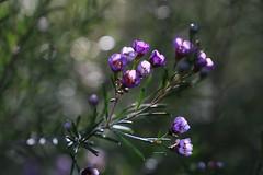 Geraldton Wax (SUSETOZER) Tags: geraldtonwax wildflower purple flora westaustralian