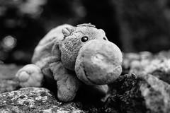 Wooti relaxing on a stone hill   [on explore] (xockisfriends) Tags: wooti wootanhippovanrheen hippo grey blackandwhite animal eyes big finespirit meditation relaxing bokeh focus master teacher
