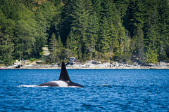 Reasons to Love Vancouver Island in Summer: #1 Orcas (Anne McKinnell) Tags: orcinusorca britishcolumbia campbellriver canada georgiastrait killerwhale ocean orca pacific vancouverisland whale