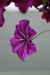 Clematis (Bad Kicker) Tags: clematis purple flower nature