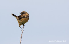 Stonechat-5597. (martinpettinger) Tags: of wings and feathers ~ admin invite only