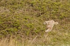 Short Eared Owl hunting (ejwwest) Tags: shortearedowl birds asioflammeus hampshire portsmouth owl farlington solent england unitedkingdom gb