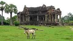 Horse at Angkor Wat (enjosmith) Tags: horse angkor wat temple grass green palm