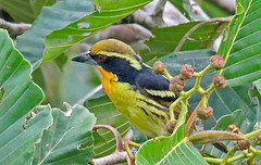 EC17b00726a (jerryoldenettel) Tags: 170703 2017 barbet capito capitoauratus capitonidae ecuador gildedbarbet piciformes sachalodge woodentower bird