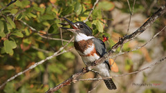 Snack time (Photography by Ramin) Tags: kingfisher female fishing ottawa wild wildlife canada bird