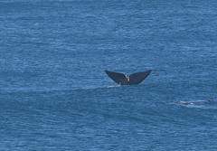 Whale tail (Linda M Hurley) Tags: southwest coast victoria australia southern right whale warrnambool sea ocean