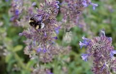 fullsizeoutput_9780 (Fan Majie 範瑪姐) Tags: bumblebee mimicry lavendel bugs