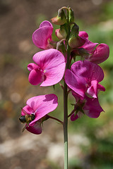 Perennial sweet pea plus leaf cutter bee Highdown gardens (Lord V) Tags: flower hollyhock highdown sweetpea insect bee leafcutterbee