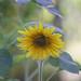 Sunflower looking down (majuwa) Tags: sonnenblume garten 2017 minoltamd13528 blumen pflanzen flowers