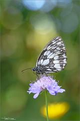 Melanargia galathea bokeh. (valpil58) Tags: melanargiagalathea macro closeup bokeh bubbles butterflies butterfly farfalla farfalle nikond600 sigma105mm sigmatc14x