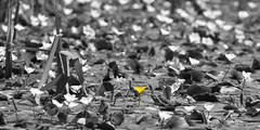 Not everything in this world is black and white..... (ArtGordon1) Tags: selectivecolouring water pond waterlilies aquaticplants eppingforest davegordon davidgordon daveartgordon davidagordon daveagordon artgordon1 england uk plants nature
