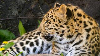 Amur Leopard in Profile