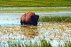 Raging Bison (Black David White Copperfield) Tags: raging ferocious attack attacking bison wild wildlife nature yellowstone natural landscape life water field grass green animal