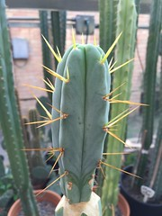 Trichocereus bridgesii cv Dave Reynolds (djnionas) Tags: bridgesii trichocereus