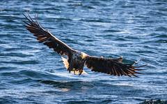 Havørn-0425 (jarud) Tags: 2017 eagle fugl havørn naturopplevelser norge norway smøla whitetailed ørn