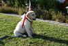 Gala in Profile - 7-4-2017 (kimstrezz) Tags: 2017 fourthofjuly july4th blockparty 4thofjuly fourthofjuly2017 july4th2017 gala dog puppy servicedog goldenretriever
