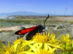 North Shore Burnet Moth2 (g crawford) Tags: crawford ayrshire northarranclydeinsectmothnorth