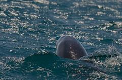 surgir sous l'étrave (Harald DUGENET) Tags: dolphin granddauphin 普通的宽吻 dolphindriven gargalhadacomum atlantique commonbottlenosedolphin algarve cétacé tursiopstruncatus grosertümmler tursiope mammifère albufeira