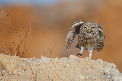 Little owl (Dave 5533) Tags: littleowl owls wild nature bird canoneos1dx sigma150600mmf563dgoshsm|s wildlife naturephotography outdoor animal birdofprey eiap ngc npc