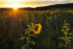 field of gold (Lena Held) Tags: sunset sundown sunlight daylight lights sunny sunshine sunbeams field fields flower flowers sunflower meadow landscape afterglow glow glowing sky clouds cloud colored colors colorful yellow orange green gold blue summer evelight evening canon 5dsr 1635mm vollformat