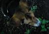 Arrow Dynamic (John Neziol) Tags: jrneziolphotography nikon nikoncamera nikondslr nikond80 beagle pet portrait petphotography petphotographer outdoor odd dog dognose animal doghead dogear brantford bokeh interesting servicedog