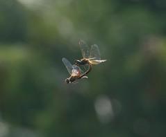 Pantala flavescens (sreejithkallethu) Tags: pantalaflavescens തുലാത്തുമ്പി globeskimmer dragonfliesofkerala dragonfly nature naturephotography kandachira kollam kerala