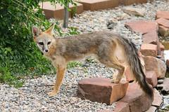 Gray Fox (9978) (Bob Walker (NM)) Tags: mammal fox grayfox urocyoncinereoargenteus canid losalamos newmexico usa