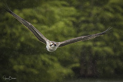 Blythe Ferry Osprey 6 (Jason Blalock) Tags: osprey pandionhaliaetus fisheagle seahawk riverhak fishhawk bird birdofprey raptor avian