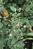 Pavonia malacophylla (Link & Otto) Garcke (alrcardoso) Tags: pavoniamalacophylla pavonia malvaceae