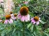 Echinacea (Elise de Korte) Tags: fr france frankrijk ldf lafrance bloei bloeien bloem bloemen echinacea fleur fleurs flower flowers garden jardin plant tuin