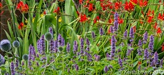 One of our borders yesterday (keithhull) Tags: ourgarden border flowers summer hull echinops agastache croscosmia explore