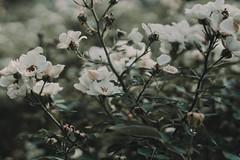 Rosebush (linda.richtersz) Tags: canoneos100d 50mmlensf14 summer roses white july vlinderlivfotografie lindarichtersz